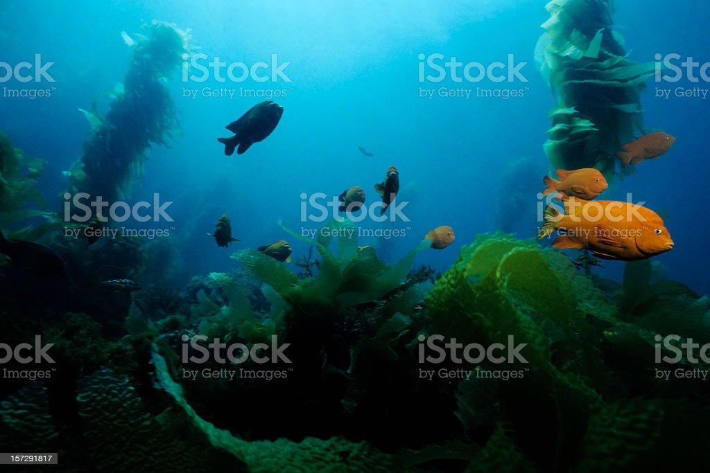 Underwater photo of fish swimming amongst kelp stock photo