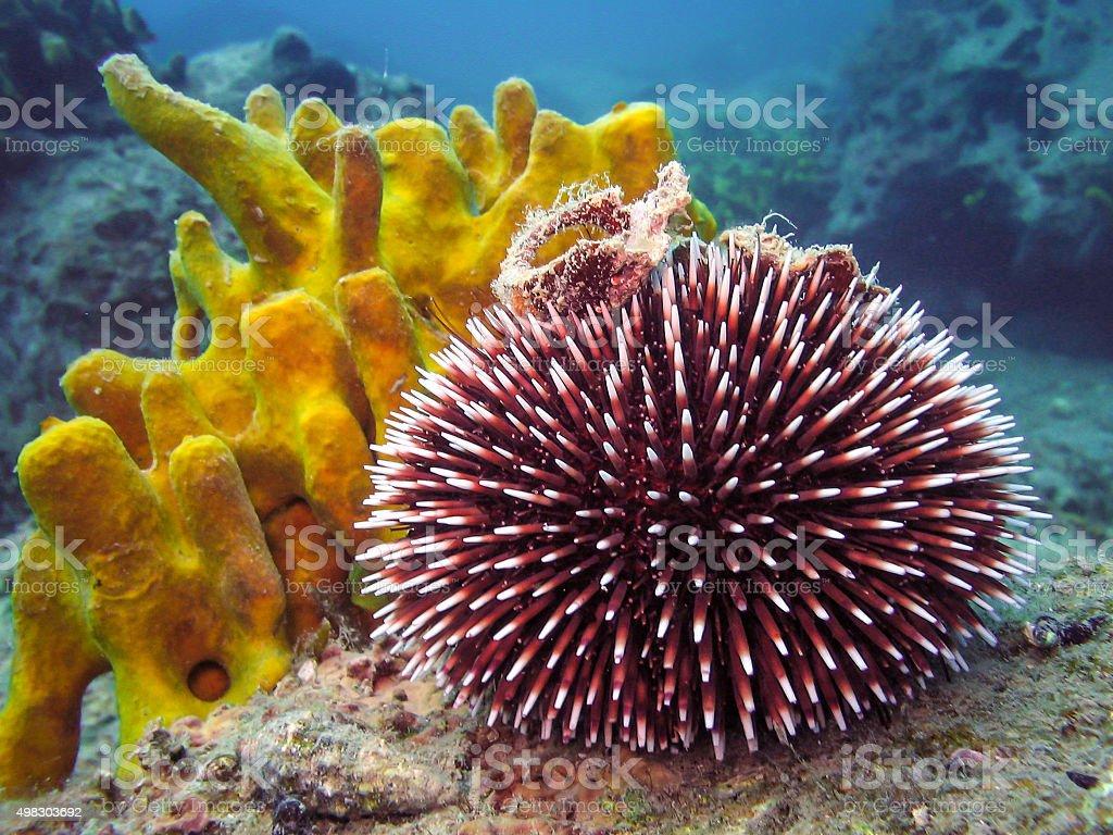 Underwater photo of Purple Sea Urchin. stock photo