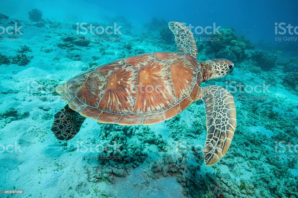 Underwater photograph of a swimming sea turtle stock photo