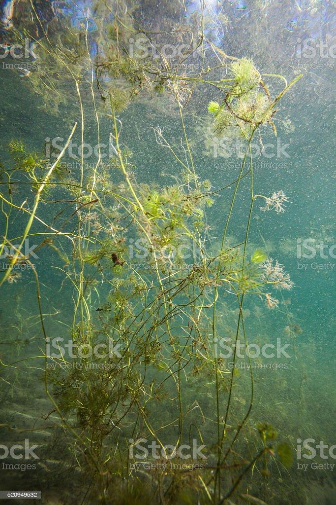 Underwater plants stock photo