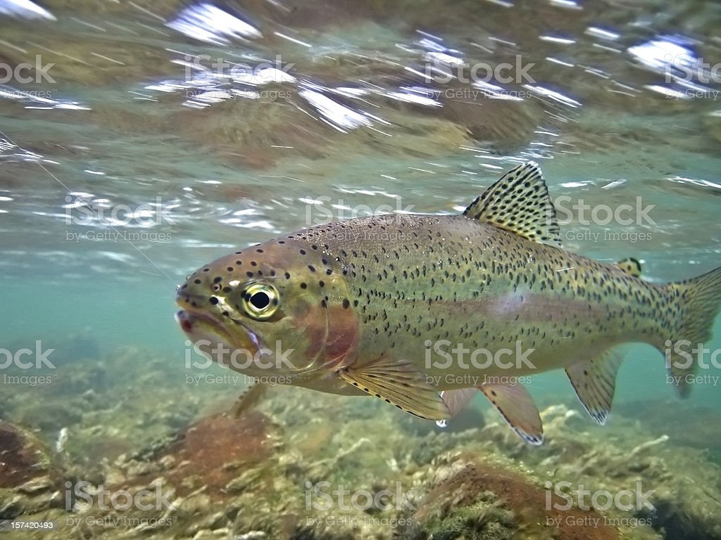 Underwater Rainbow Trout - Oncorhynchus mykiss stock photo