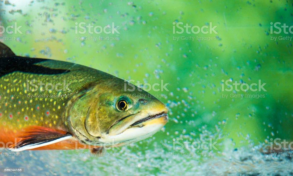 Underwater Rainbow Trout stock photo