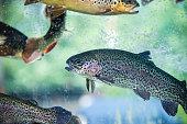 Underwater Rainbow Trouts