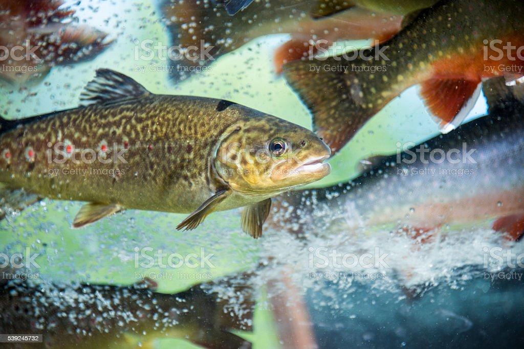 Underwater Rainbow Trouts stock photo