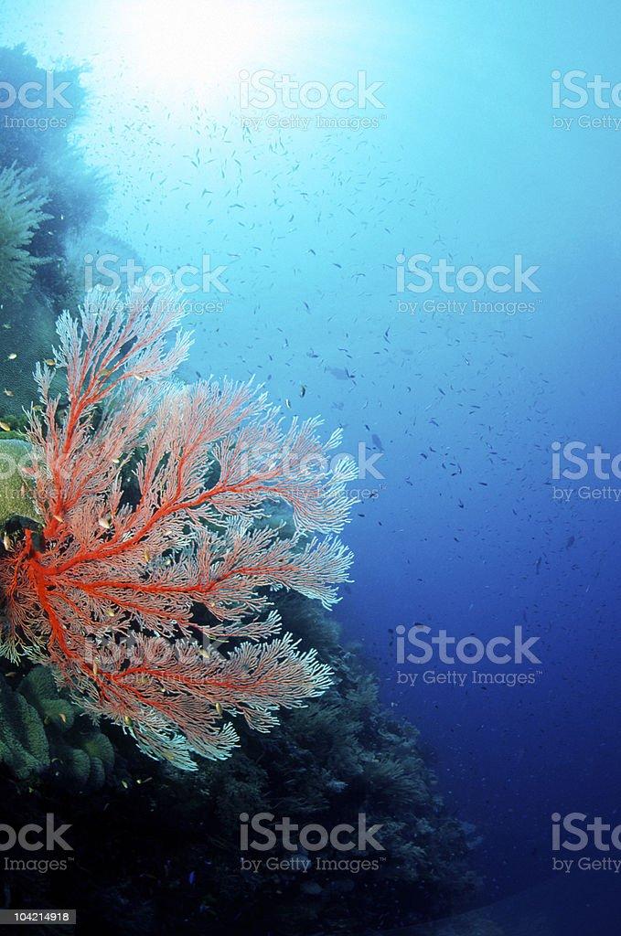 Underwater Red Gorgonian Sea Fan Coral stock photo