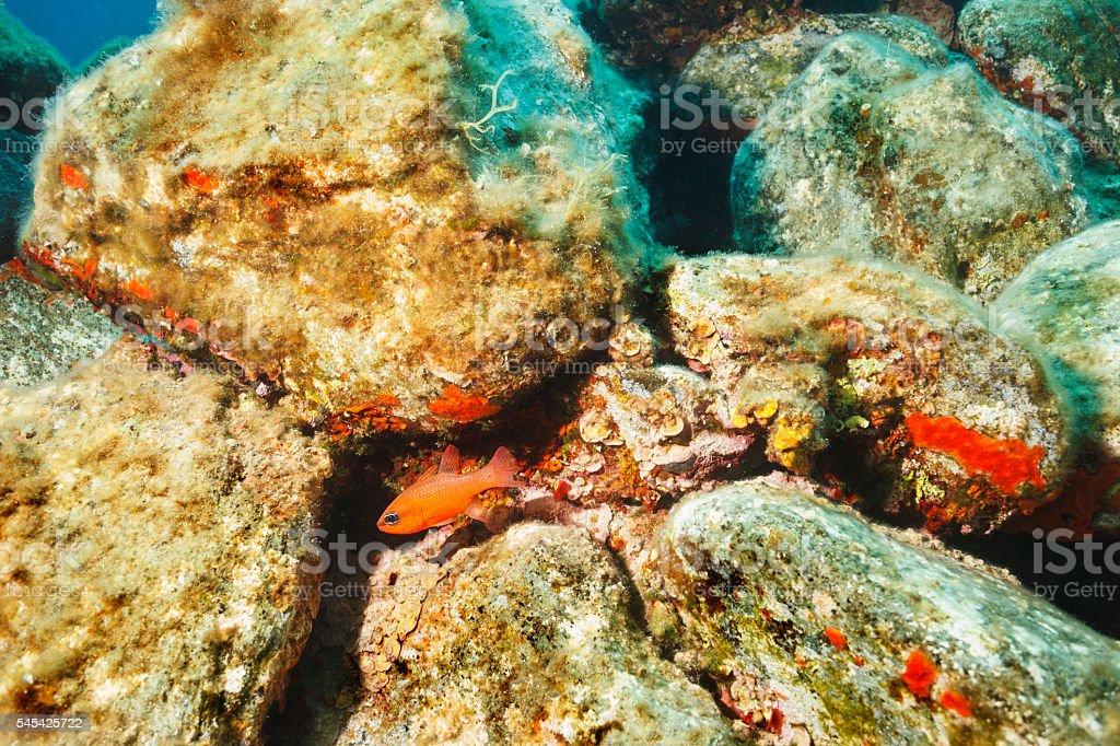 Underwater reef   Sea life   Orange sea fish  Scalefin anthias stock photo