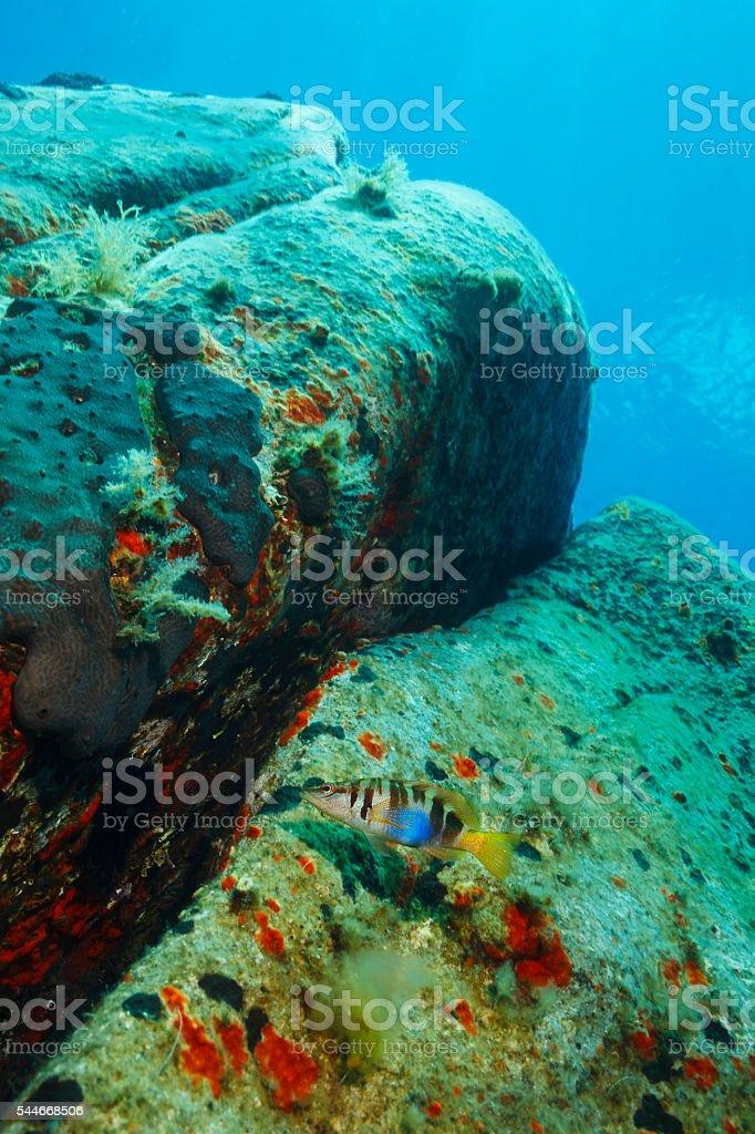 Underwater reef   Sea life    Sea fish  Painted comber stock photo
