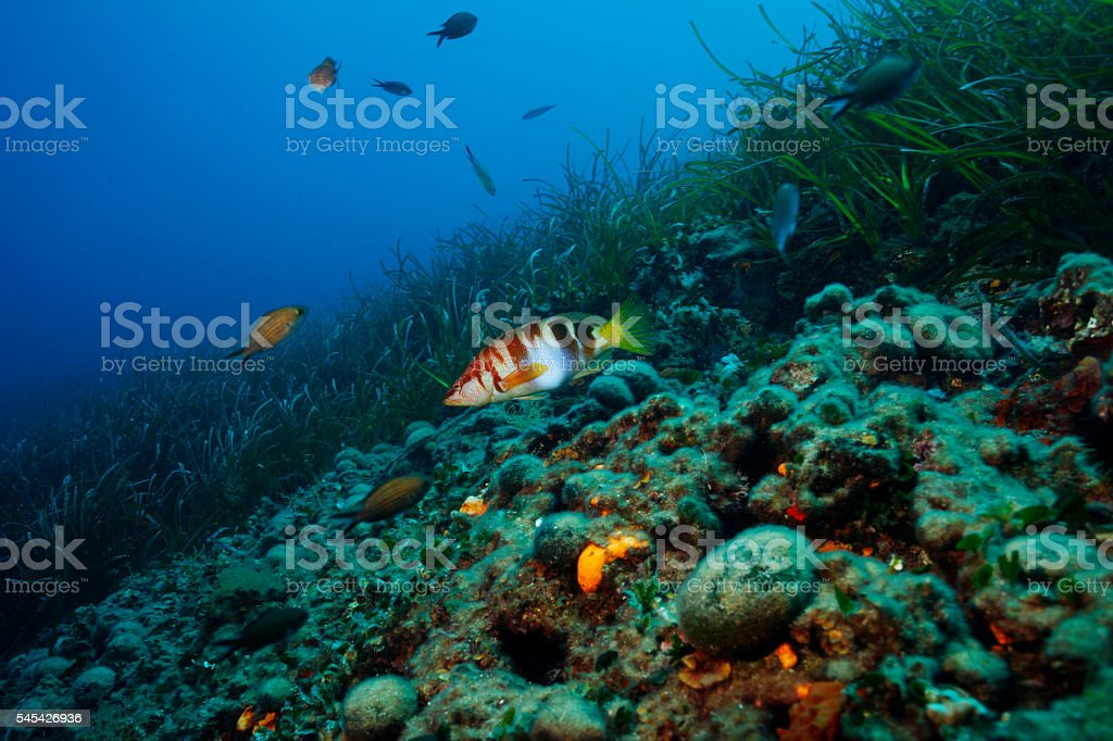 Underwater reef  Sea life    Sea grass and fish  painted comber stock photo