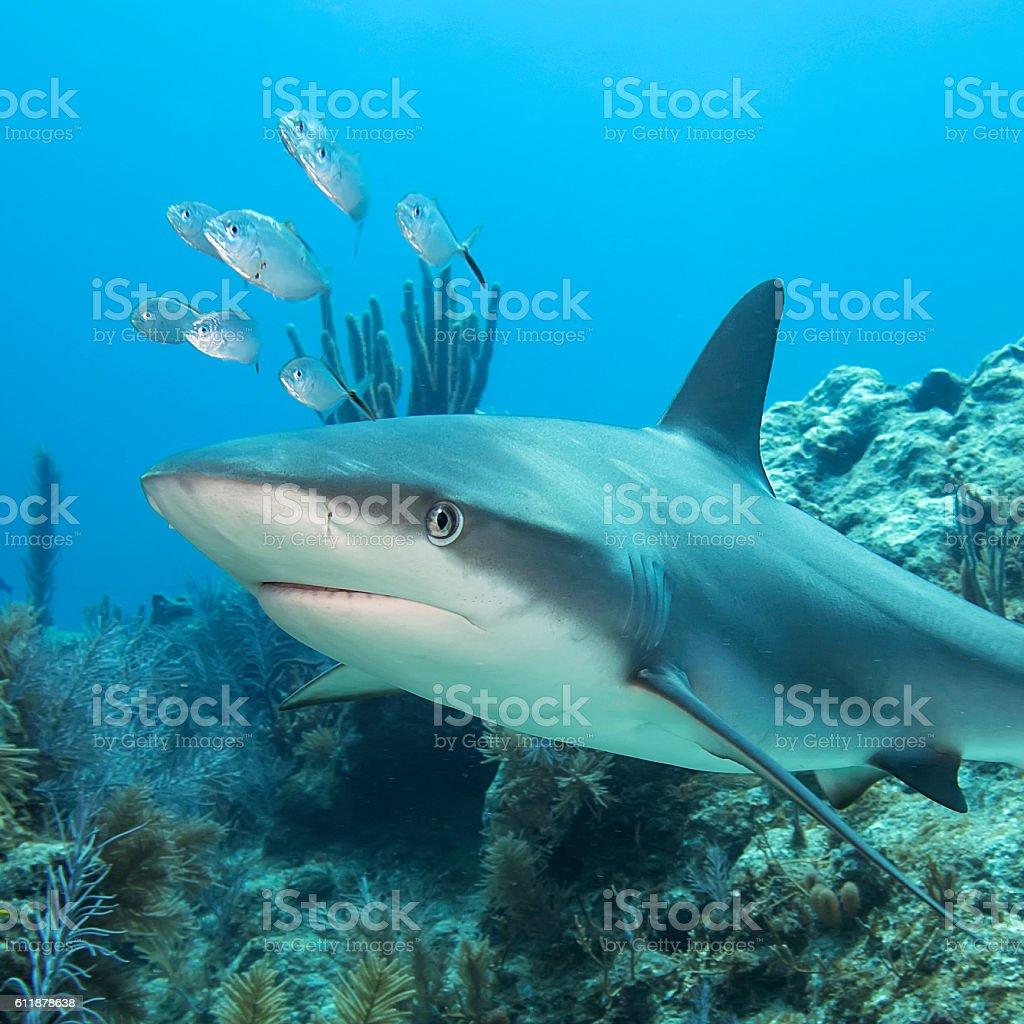 Underwater Reef Shark stock photo