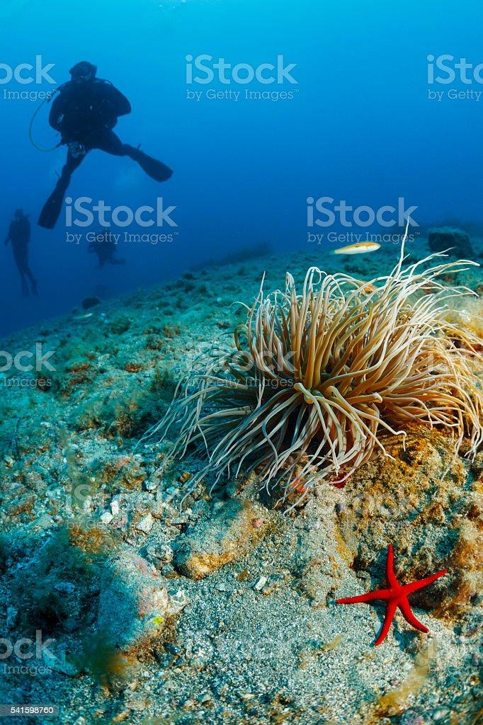 Underwater  Scuba divers enjoy  Explore  Sea life  Red starfish  Anemones stock photo