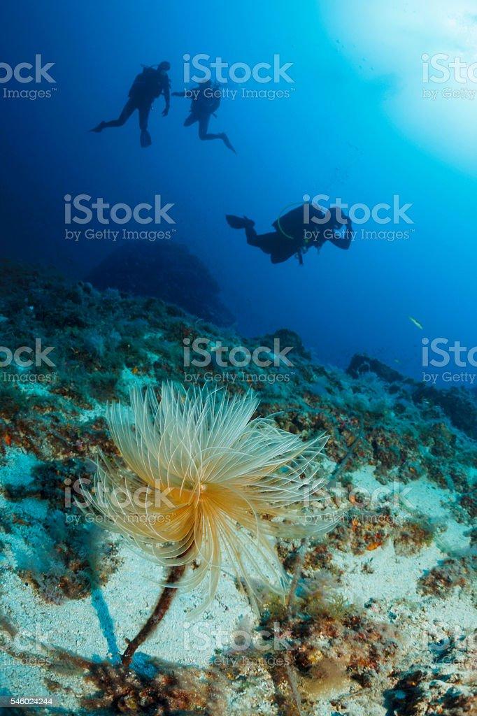 Underwater  Scuba divers enjoy  Explore  Sea life  Spiral tubeworm stock photo