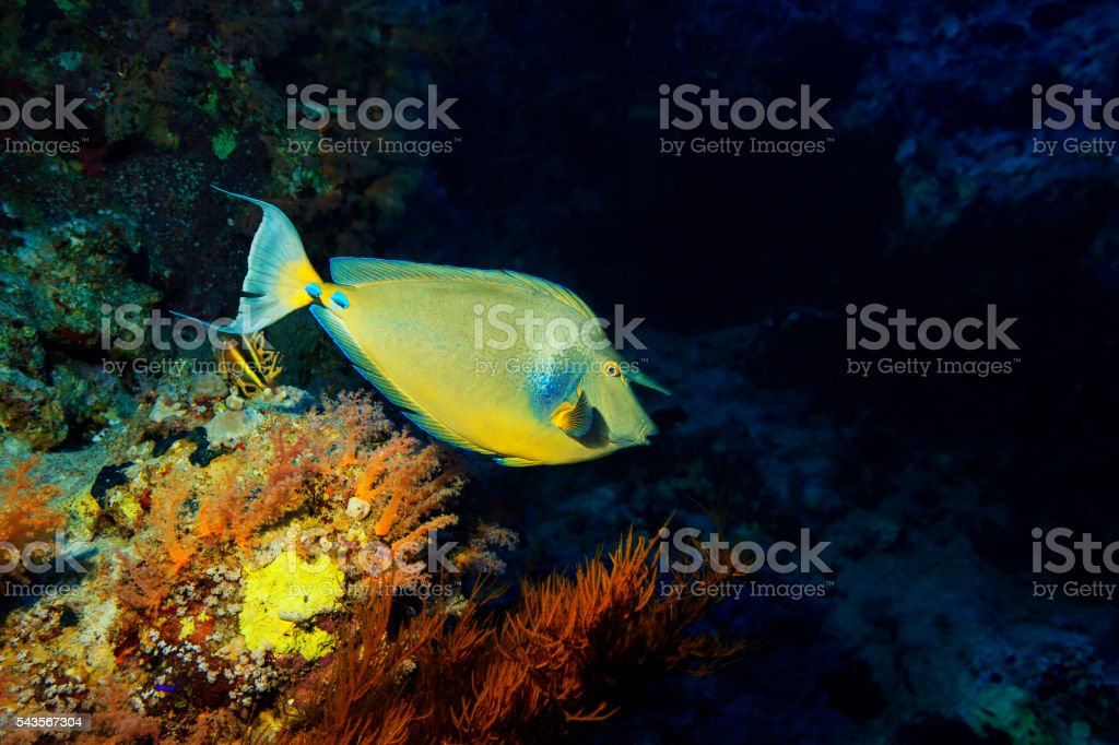 Underwater  sea life  Coral reef   Fish  Unicornfish stock photo
