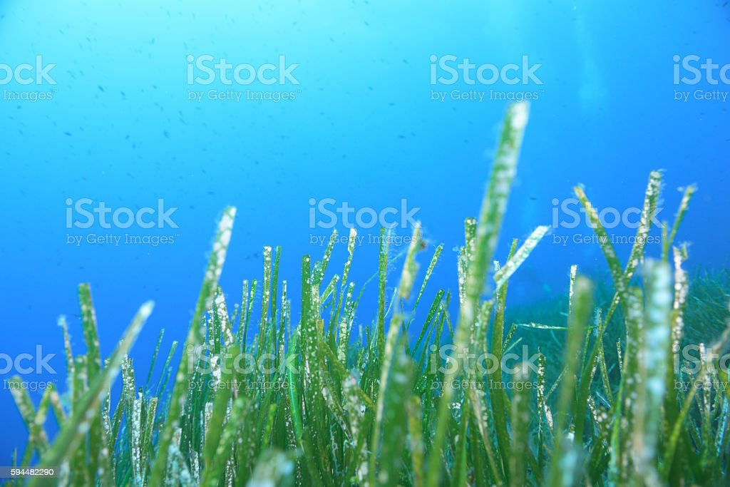 Underwater Sea life Sea grass foto royalty-free
