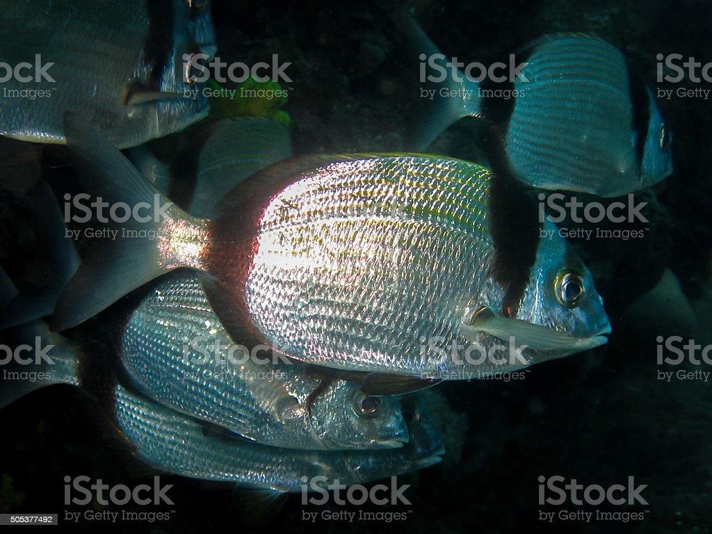 Underwater shot of School of Diplodus vulgaris seabream stock photo