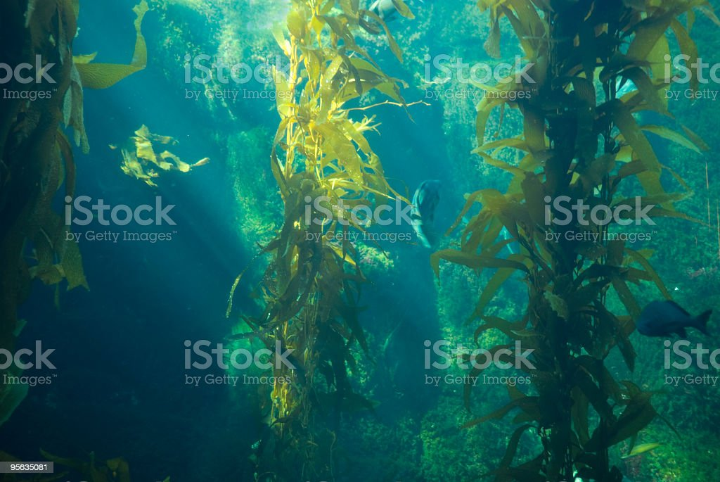 Underwater shot with Kelp, Rocks and Fish stock photo