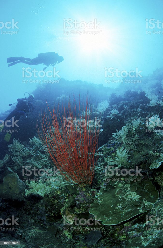 Underwater soft coral with scuba diver under sunbeams stock photo