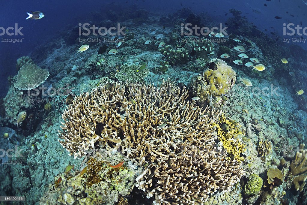 Underwater staghorn table coral in Sipadan, Malaysia royalty-free stock photo