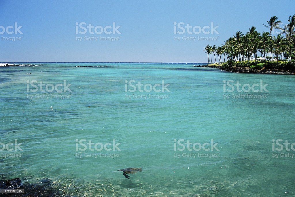 Underwater turtle in Maui Hawaii resort hotel turquoise bay royalty-free stock photo