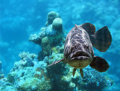 Underwater view of a cod fish with coral in background