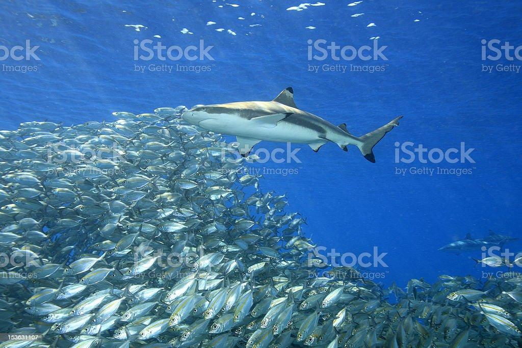 Underwater view of fish and shark stock photo