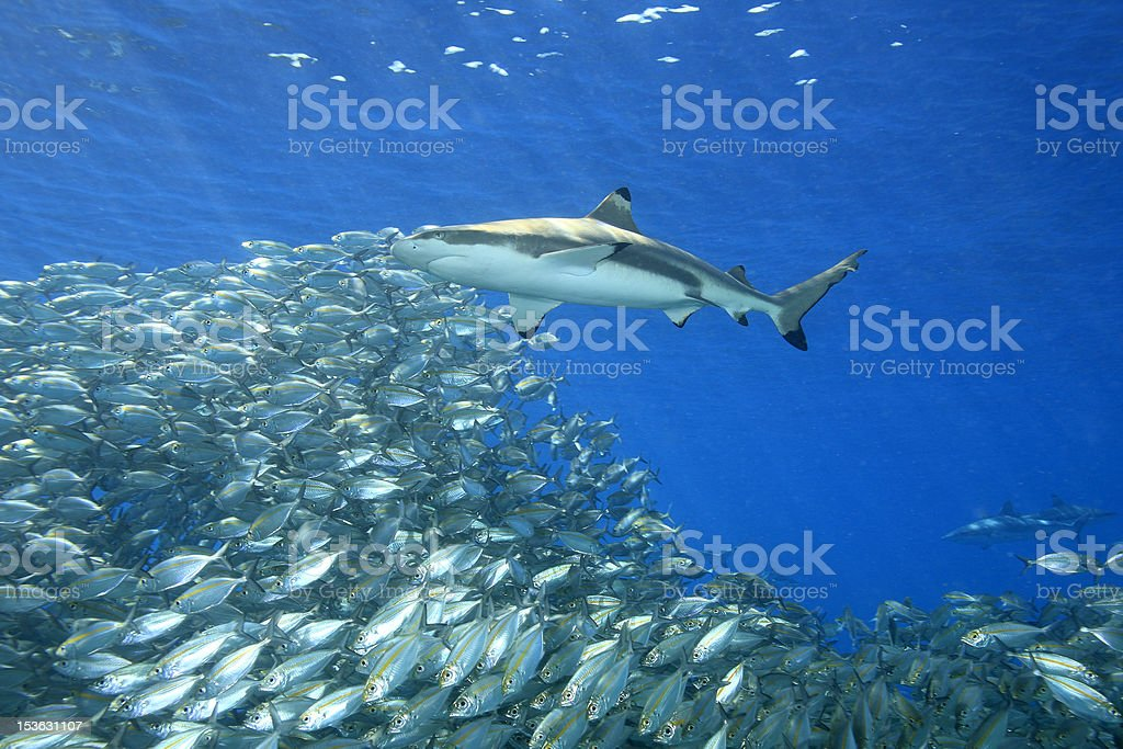 Underwater view of fish and shark stock photo