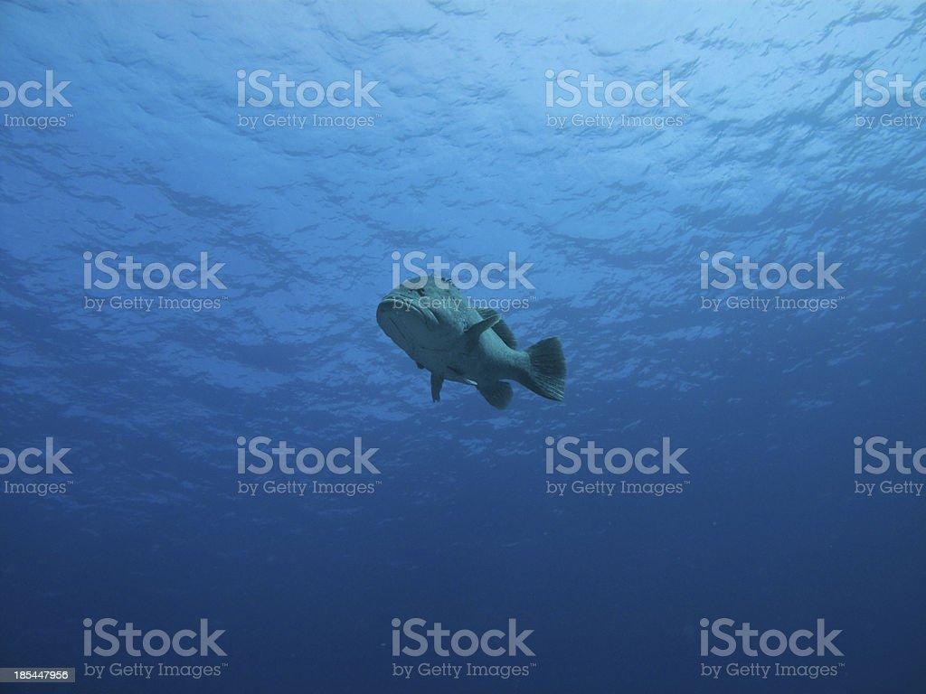 Underwater view of Giant Potatoe Cod, Great Barrier Reef Australia royalty-free stock photo