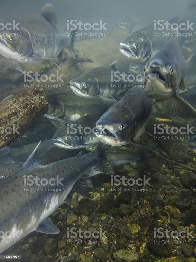 underwater view of salmon with their mouths open heading upstream stock photo