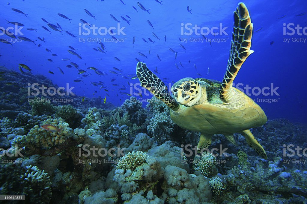 Underwater view of sea turtle and coral reefs with fish stock photo