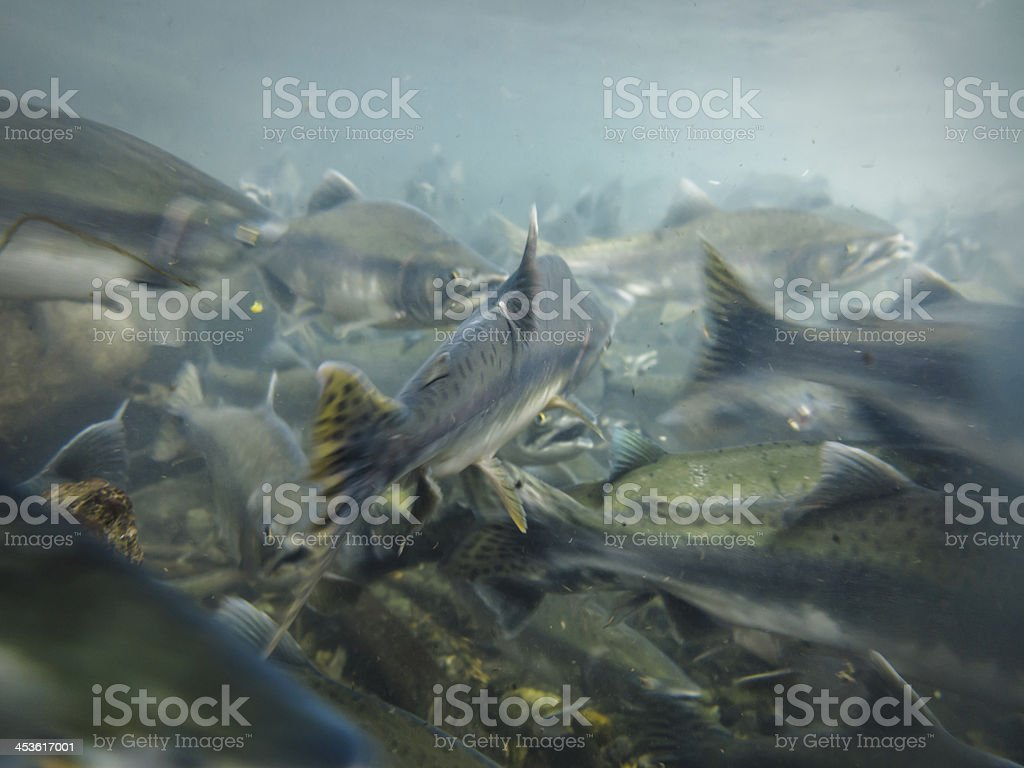 Underwater view of sockeye salmon in school stock photo