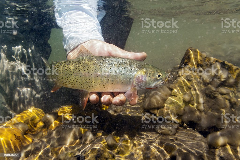Underwater Westslope Cutthroat Trout - Oncorhynchus clarki lewisi stock photo