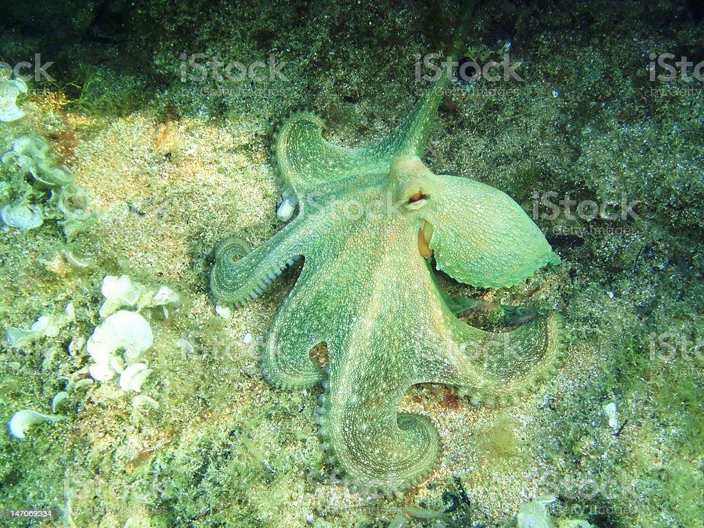 Underwatershot Of A Wild Octopus stock photo