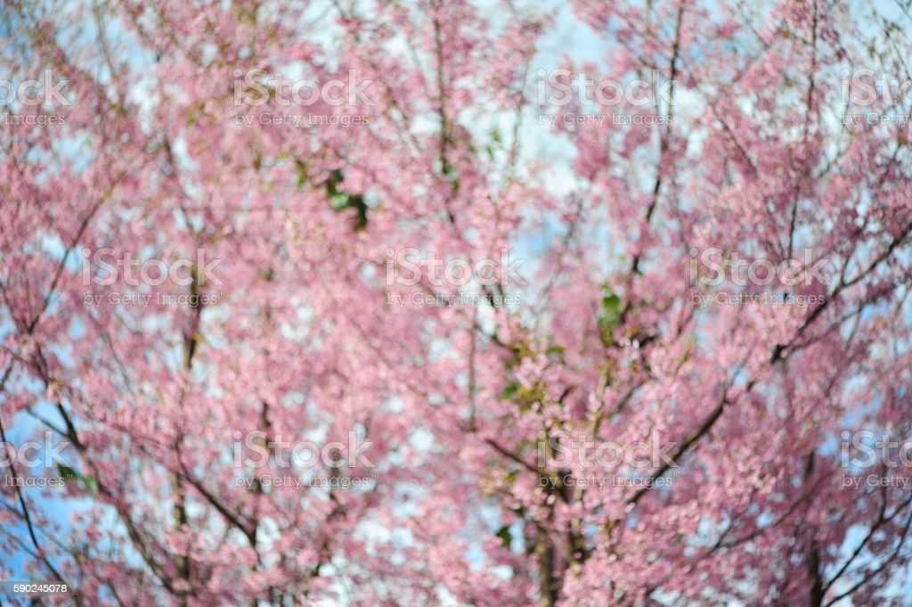 Unfocused Flower Himalayan Cherry blossom (Blur) stock photo