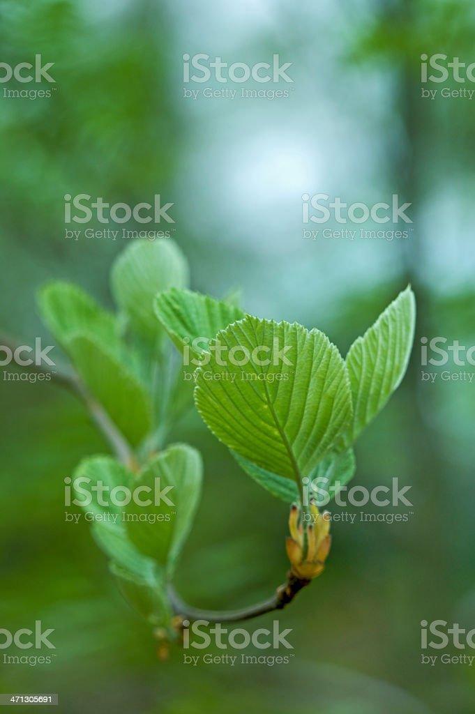 unfurling beech leaves royalty-free stock photo