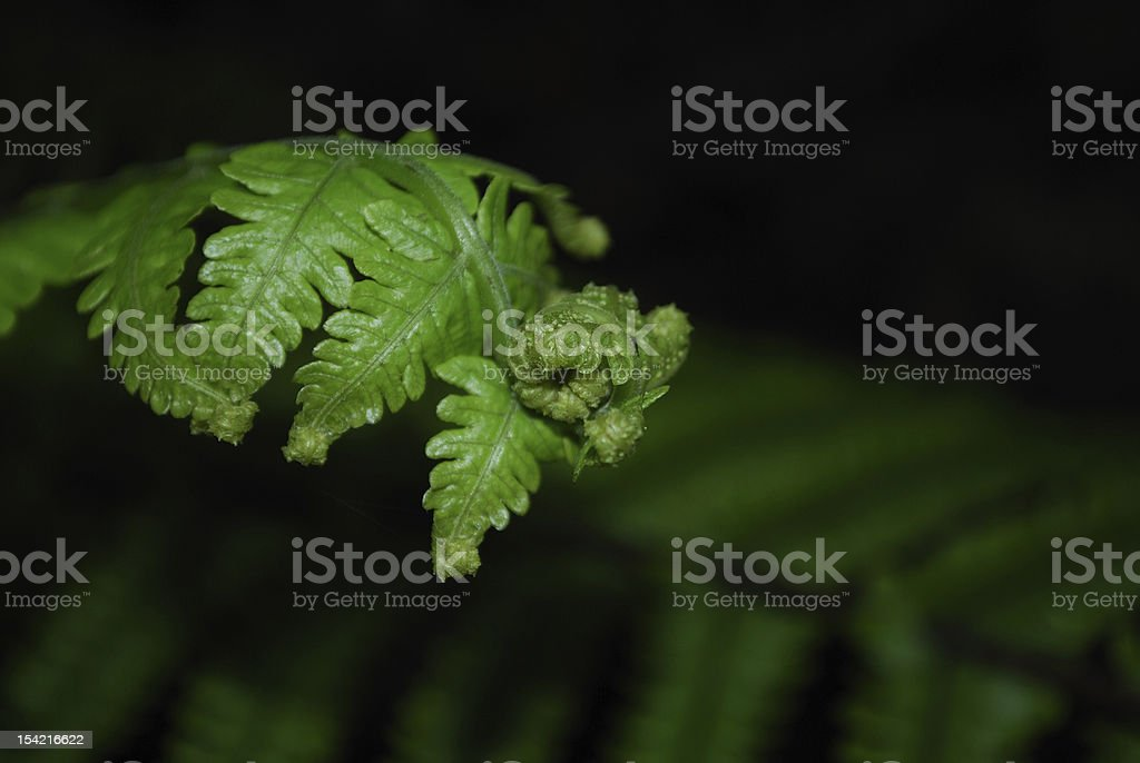 Unfurling Fern (Pikopiko) stock photo