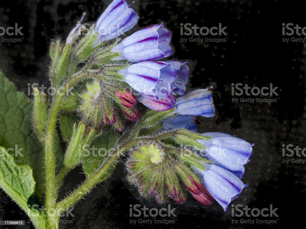 Unfurling Flowers of Comfrey. royalty-free stock photo