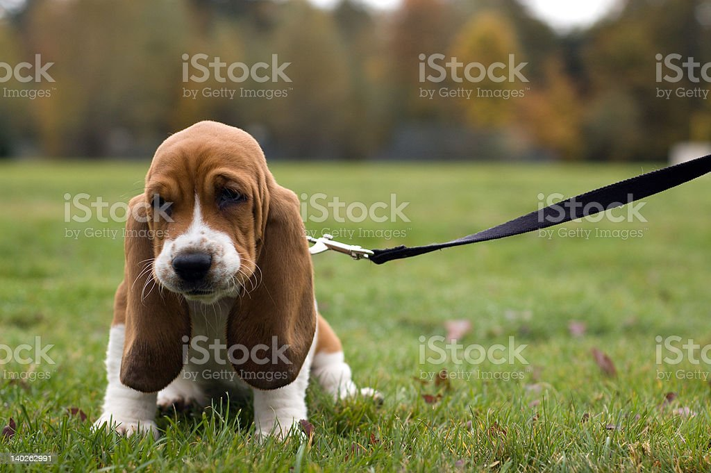 Unhappy Basset Hound sitting in the grass stock photo