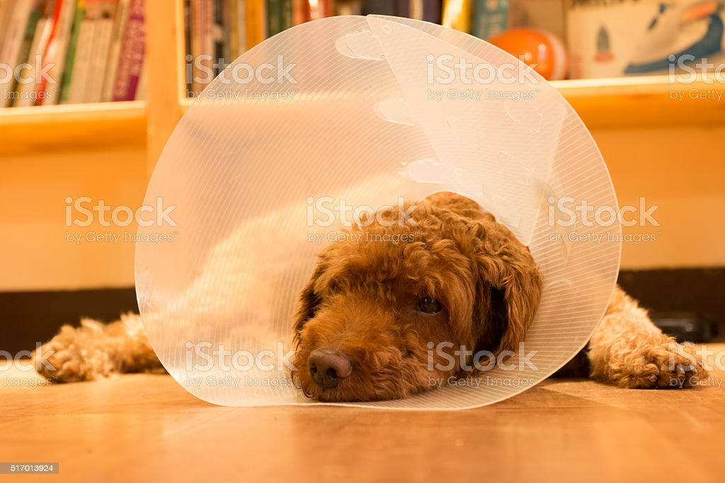 Unhappy dog lying on floor with protective collar after surgery stock photo