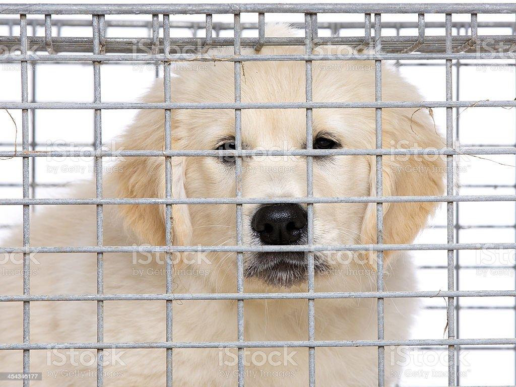 Unhappy golden retriever cream puppy in cage royalty-free stock photo