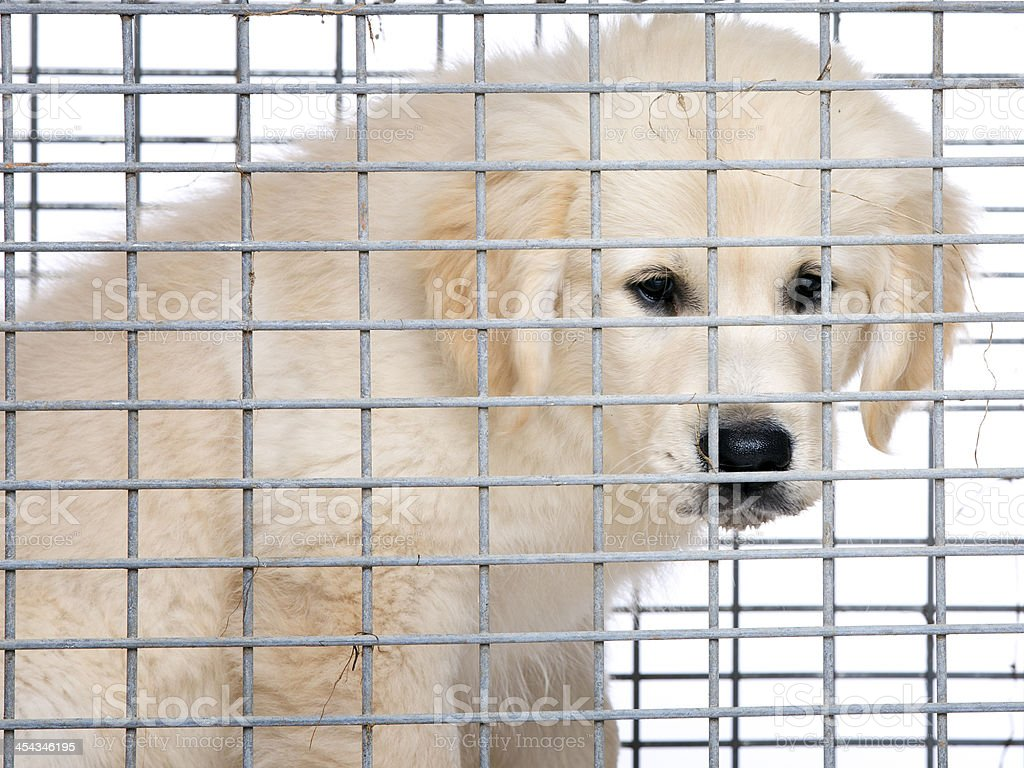 Unhappy golden retriever cream puppy in cage royalty-free stock photo