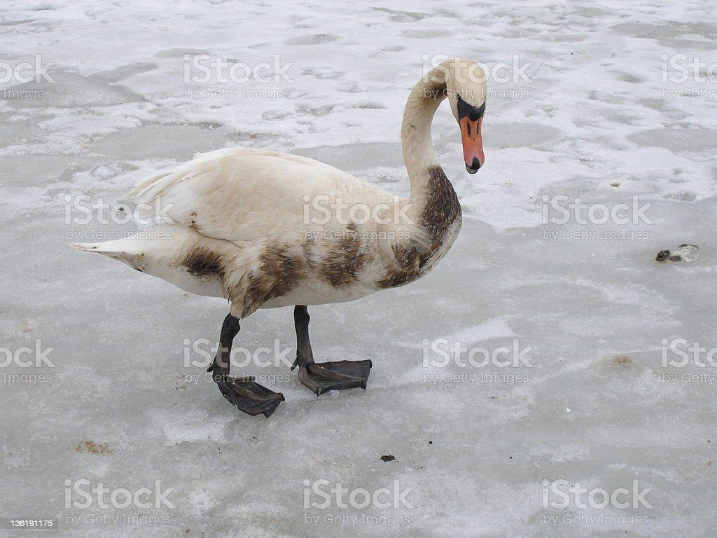 Unhealthy swan stock photo