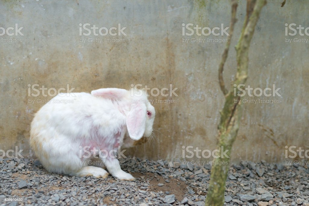 Unhealthy white rabbit  with red eyes on gravel ground in cage with copy space stock photo