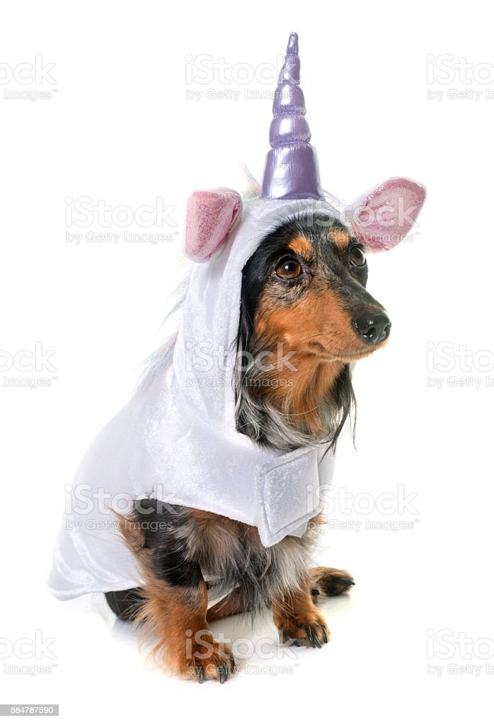 unicorn dachshund  in studio stock photo
