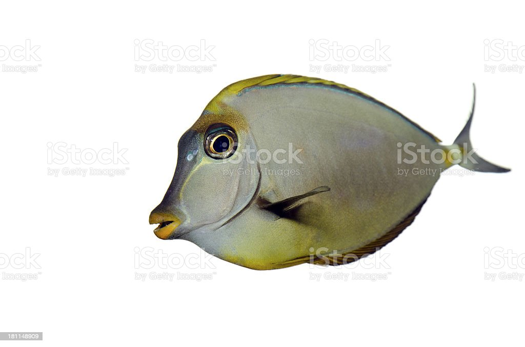 unicorn fish royalty-free stock photo