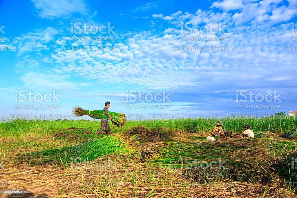 Unidentified farmers harvested sedge marsh. stock photo