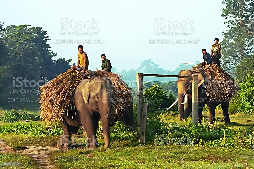 Unidentified local people are carrying hay on elephants stock photo