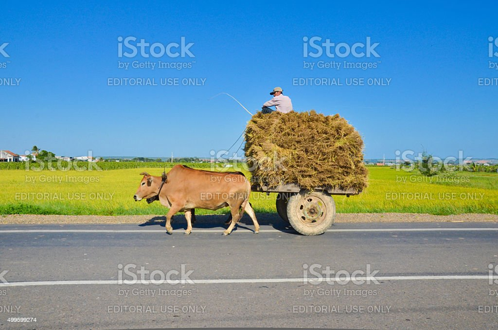Unidentified man rides cow stock photo