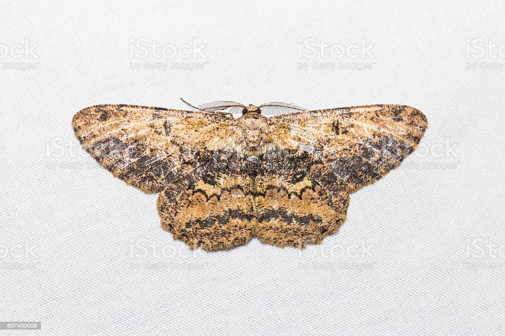 Unidentified moth on white screen stock photo