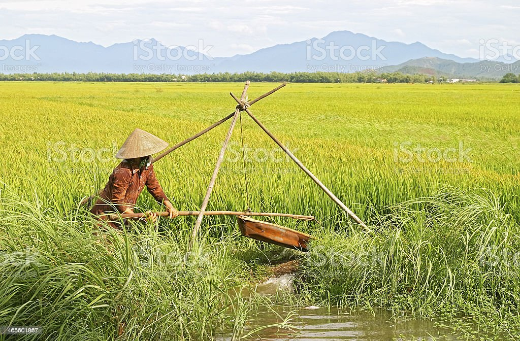 Unidentified woman in conical hat irrigating rice paddy royalty-free stock photo