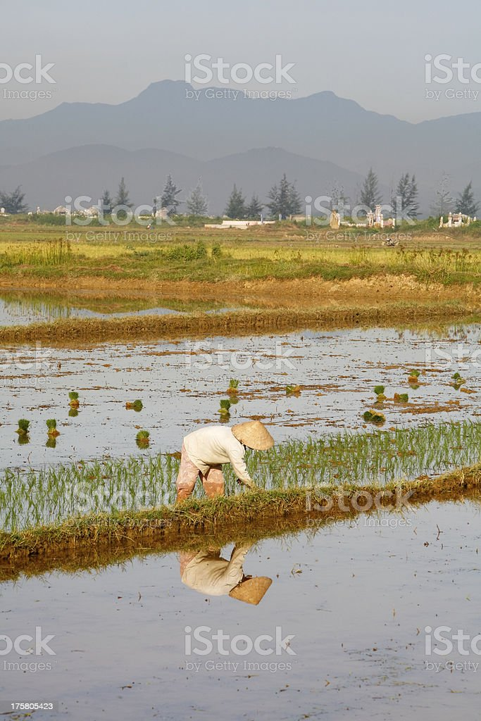 Unidentified woman wearing conical hat reflected in rice paddy royalty-free stock photo