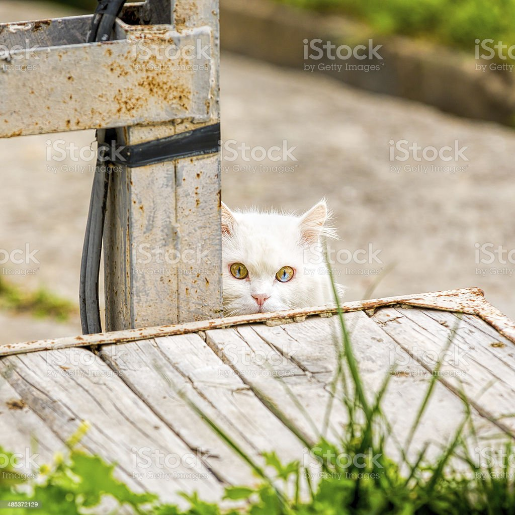 unique double color eye White cat hiding royalty-free stock photo